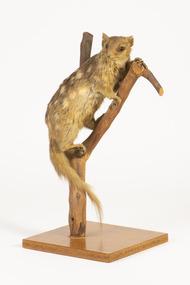 Animal specimen - Quoll, Trustees of the Australian Museum, 1860-1880