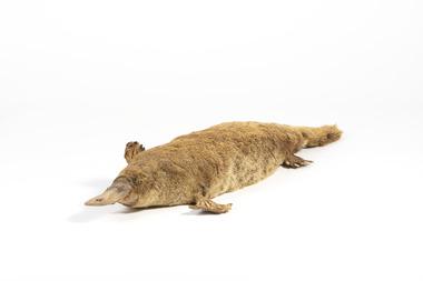 Animal specimen - Platypus, Trustees of the Australian Museum, 1860-1880