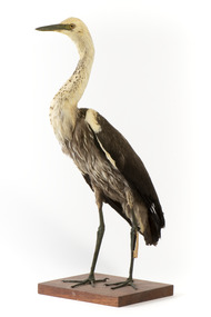 White-Necked Heron standing on wooden mount looking left