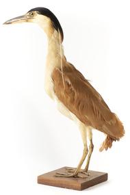 Nankeen Night Heron standing on wooden mount facing forward