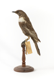 Ring Ouzel standing on wooden perch facing forward