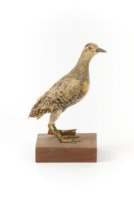 Buff-Banded Rail bird standing on a wooden platform facing forward