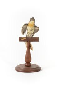 Satin Flycatcher standing on wooden perch facing forward