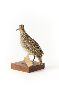 Latham's Snipe bird standing on wooden mount facing forward
