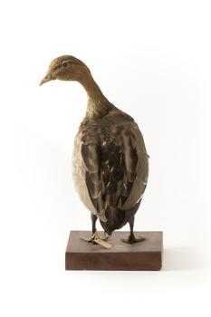 Female wood duck standing on wooden mount looking towards back-left