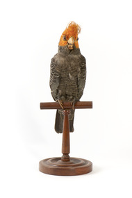 Male Gang Gang cockatoo standing on wooden perch facing forward