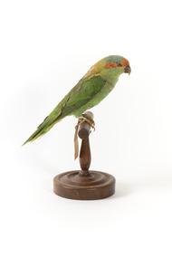 Musk Lorikeet standing on wooden perch facing forward