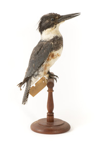 Belted Kingfisher standing on wooden perch facing forward