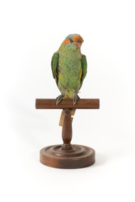 Musk Lorikeet standing on wooden perch facing forward with head positioned slightly left