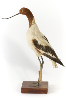 Red Necked Avocat standing on a wooden platform facing forward with a paper tag tied around left leg.