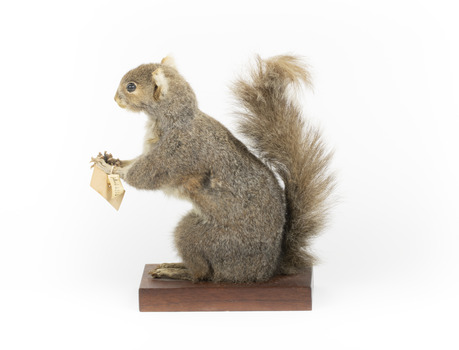 Squirrel standing on a wooden platform and holding a small pinecone with a paper tag tied to one arm.