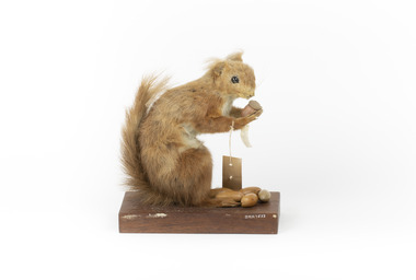 Squirrel standing on a wooden platform clutching an acorn in its hands. Acorns are also located on the platform and a paper tag hands from the specimen's arm.