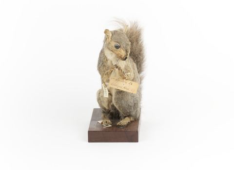 Grey Squirrel standing on a wooden platform facing front and looking right.