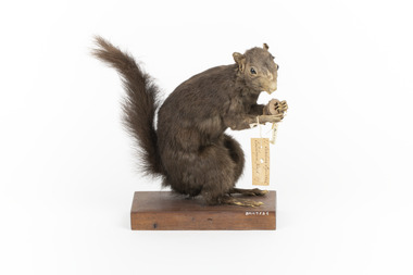 Carolina Squirrel standing on a wooden platform facing front and looking right