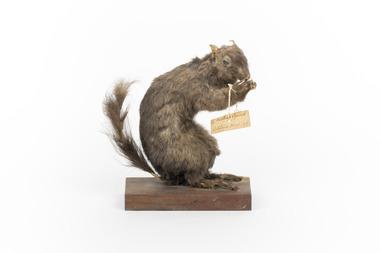 Animal specimen - Carolina Squirrel, Trustees of the Australian Museum, 1860-1880