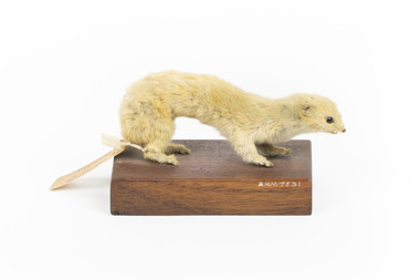 Pale coloured weasel standing on a wooden platform with paper tag tied to back leg