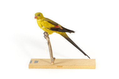 A slim parrot with a long, dusky tapering tail and back-swept wings. It is mostly yellow, with blue-black wings and tail. There is a prominent yellow shoulder patch and red patches in the wings. The bill is deep red or pink. Females and juveniles are duller olive-green with pinkish, duller wing patches. The Regent Parrot's distinctive call is often heard long before the birds appear. This species is also known as Black-tailed, Black-throated or Marlock Parrot or Smoker