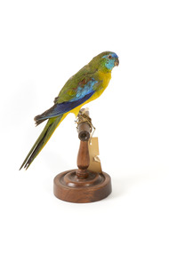 The male Turquoise Parrot is bright green above, with a turquoise blue crown and face. A brilliant two-tone blue band around the bend of the wing contrasts with a dark, brick-red shoulder patch. Its underparts and tail edges are a rich yellow. The female is similar, but not as bright, with a whitish facial mask, no red on the wing, and a pale wing stripe. Old birds of both sexes may have orange underparts.