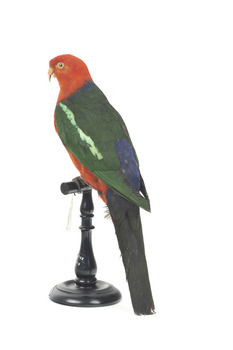 Male Australian King-Parrots are the only Australian parrots with a completely red head. Females are similar to males except that they have a completely green head and breast. Both sexes have a red belly and a green back, with green wings and a long green tail. King parrots are normally encountered in pairs or family groups.