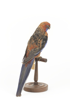 There are several colour forms of the Crimson Rosella. The form it is named for has mostly crimson (red) plumage and bright blue cheeks. The feathers of the back and wing coverts are black broadly edged with red. The flight feathers of the wings have broad blue edges and the tail is blue above and pale blue below and on the outer feathers. Birds from northern Queensland are generally smaller and darker than southern birds. The 'Yellow Rosella' has the crimson areas replaced with light yellow and the tail more greenish. The 'Adelaide Rosella' is intermediate in colour, ranging from yellow with a reddish wash to dark orange. Otherwise, all the forms are similar in pattern. Young Crimson Rosellas have the characteristic blue cheeks, but the remainder of the body plumage is green-olive to yellowish olive (occasionally red in some areas). The young bird gradually attains the adult plumage over a period of 15 months
