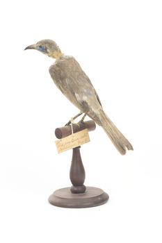 Little Friarbird Back Left. Original identification tag hanging from left foot. Evidence of pest damage on back of neck.