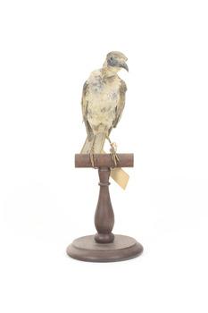Little Friarbird taxidermy specimen, front view