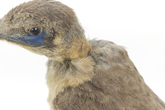 Little Friarbird, close back left. Shows serious pest damage to back of neck and minimal damage above eye.