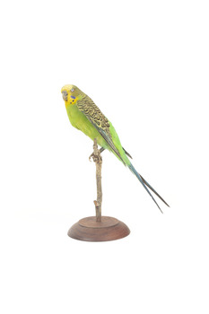 Budgie, left view.