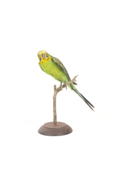 Budgie, front left view