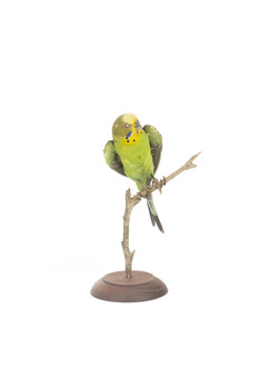 Budgie, front view