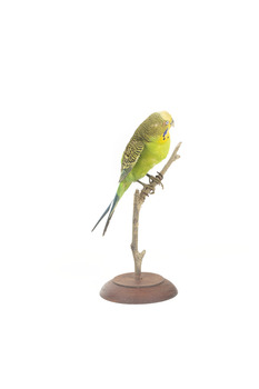 Budgie, right view
