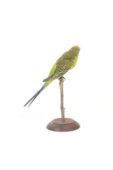 Budgie, back right view