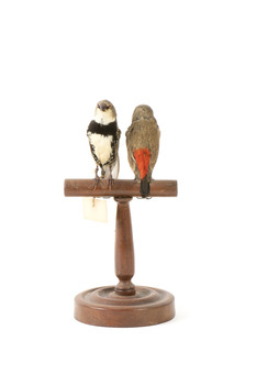 two diamond firetail birds standing on a wooden mount, one facing forward, one facing backward