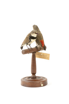 two diamond firetail birds standing on a wooden mount, one facing left, one facing right