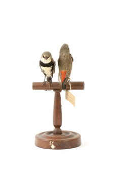 two diamond firetail birds standing on a wooden mount, one facing front, one facing back