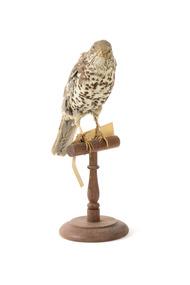 mistle thrush bird standing on a wooden mount facing fowards