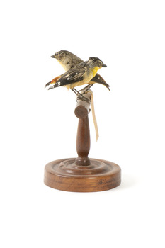 two spotted pardalote birds standing on a wooden mount facing left/right