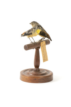 two spotted pardalote birds standing on a wooden mount facing front left/right back left/right)