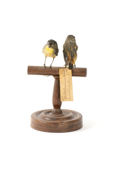 two spotted pardalote birds standing on a wooden mount facing front/back