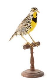 Eastern Meadowlark perching on wooden mount facing forward