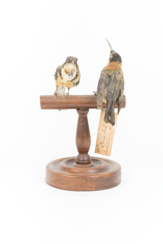 Two eastern spinebills on a stand. Back view.