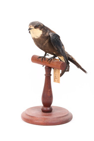 White-Throated Needletail standing on wooden perch facing forward