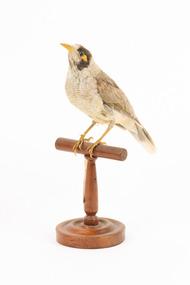 Noisy Miner / Garrulous Honeyeater standing on wooden perch facing forward