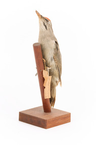 Grey-headed Woodpecker attached to a sloping vertical wooden mount presenting front-left