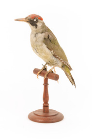 Green woodpecker mounted on wooden perch presenting front-left.