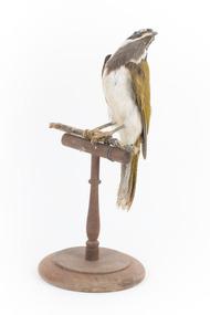 Animal specimen - Blue-faced Honeyeater, Trustees of the Australian Museum, 1860-1880