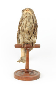 Tawny Frogmouth mounted on wooden perch facing forward