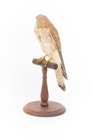 Nankeen Kestrel perching on wooden stand facing front left