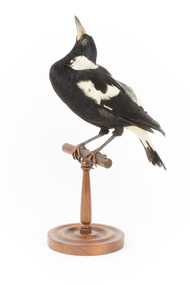 White Winged Chough perching on wooden stand facing forward left