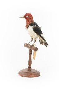 Red Headed Woodpecker standing on wooden mount facing front-left
